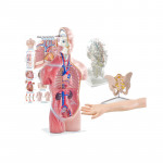 Anatomical Models & Teaching Aids